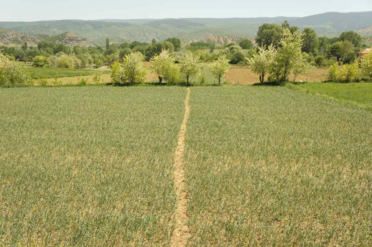 Garlic fields forever....