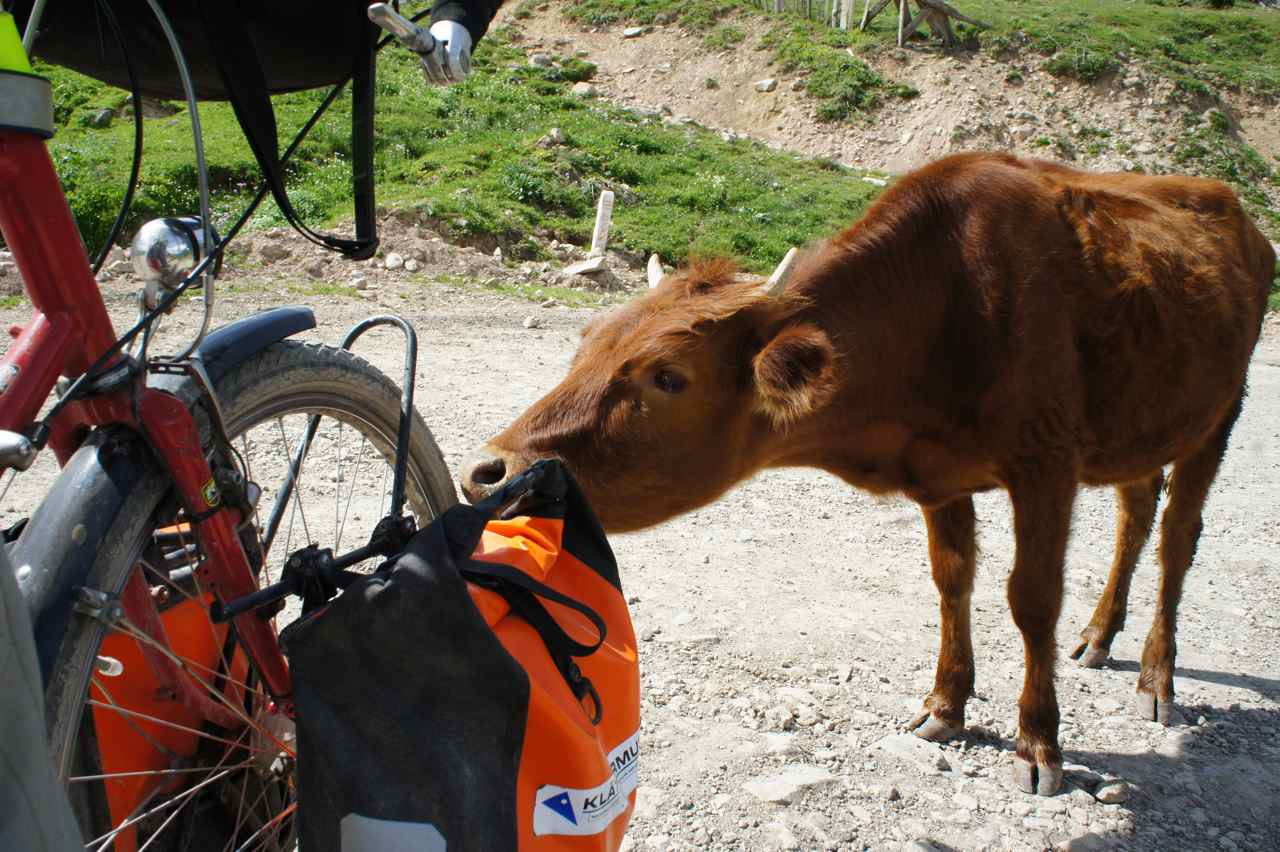 A cow having a sniff at my front pannier
