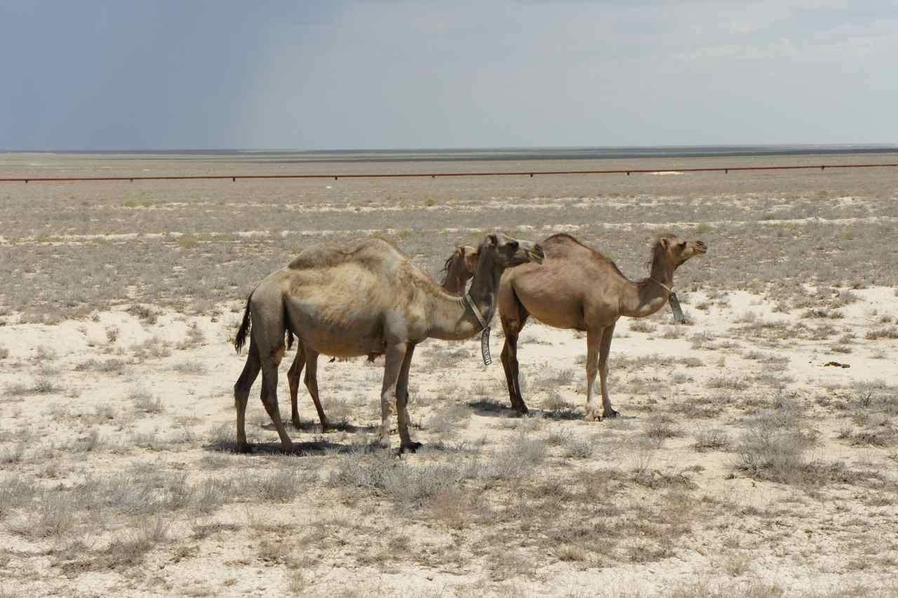 อูฐในทะเลทราย