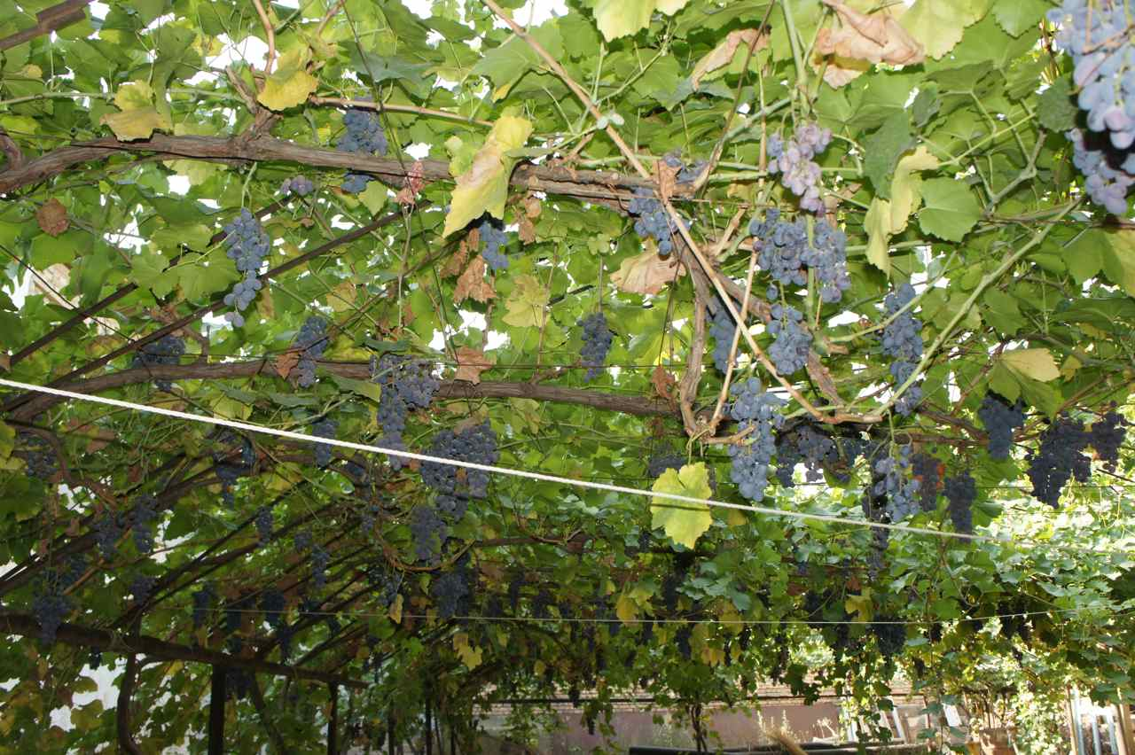 Grapes in the family garden