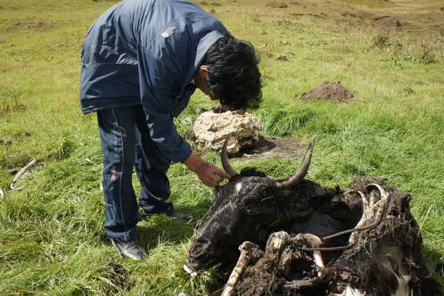 ยอร์คตัวนี้โชคร้ายเจอฝูงหมาป่าไล่ล่า ไกด์เรานับอายุของมันได้ 7 ปีจากเขาของมัน