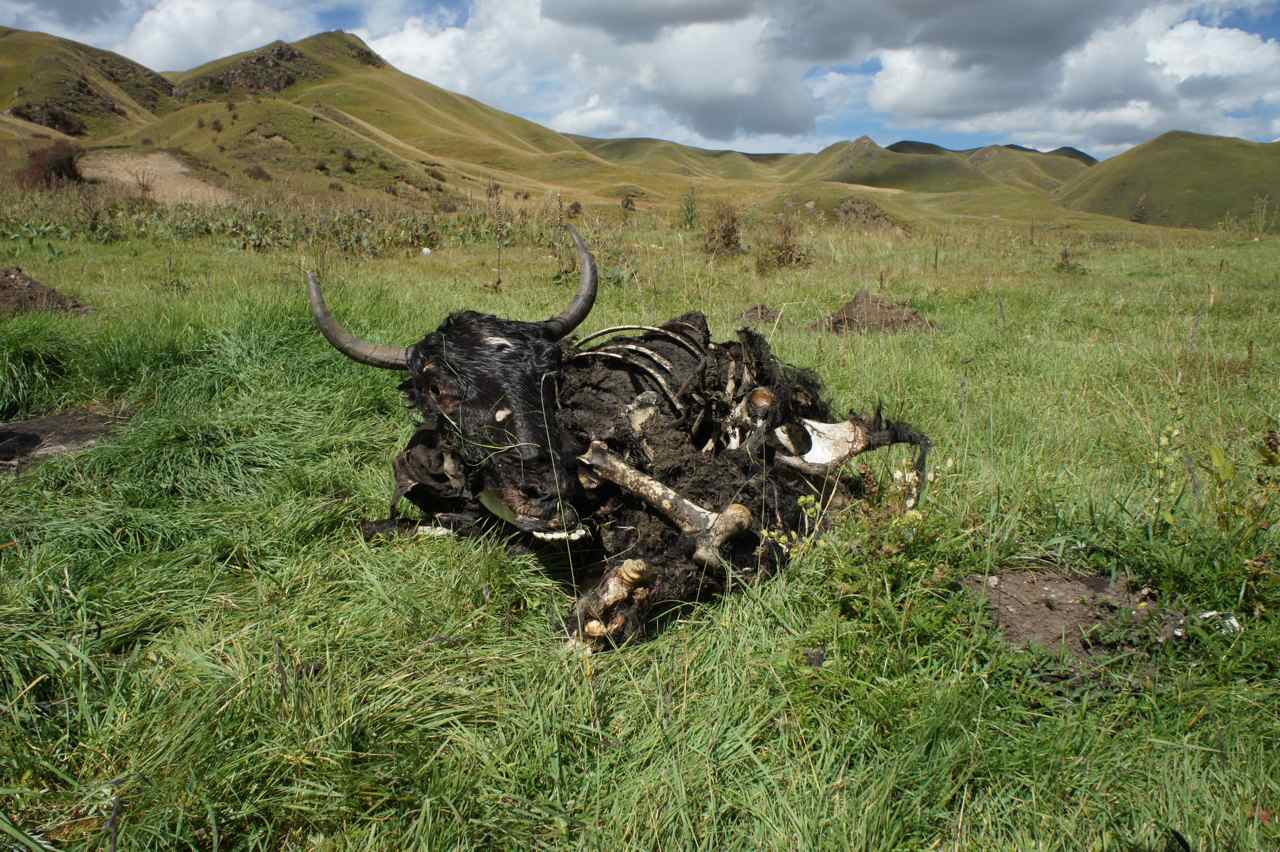 An ex-yak after a pack of wolves had a feast earlier this year