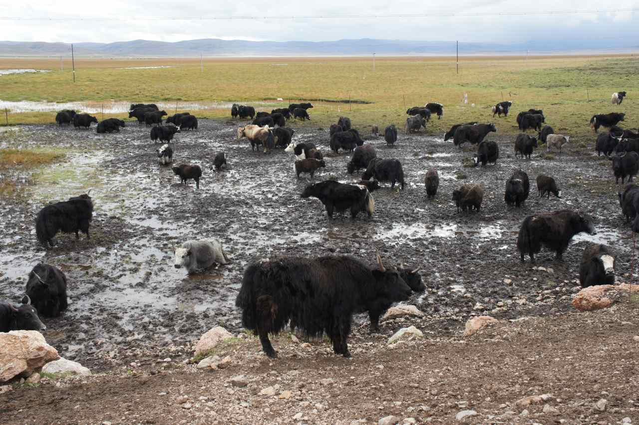 Yaks enjoying a mud bath at 3500 meters altitude