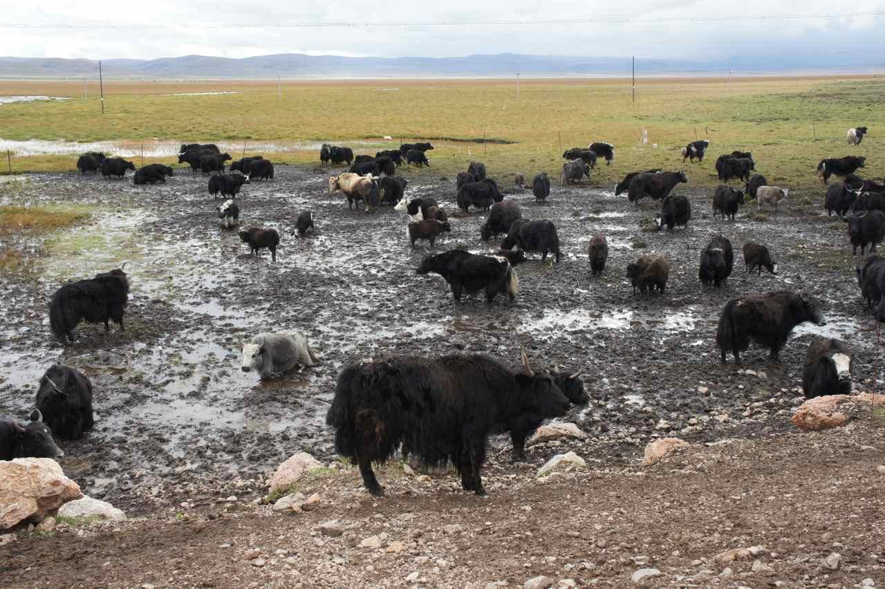 Yaks enjoying a mud bath at 3500 meters altitude