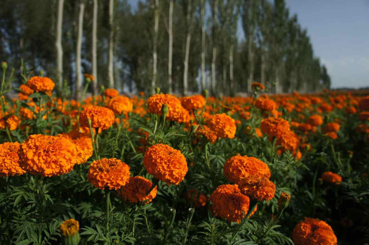 Fields of orange Tagetes