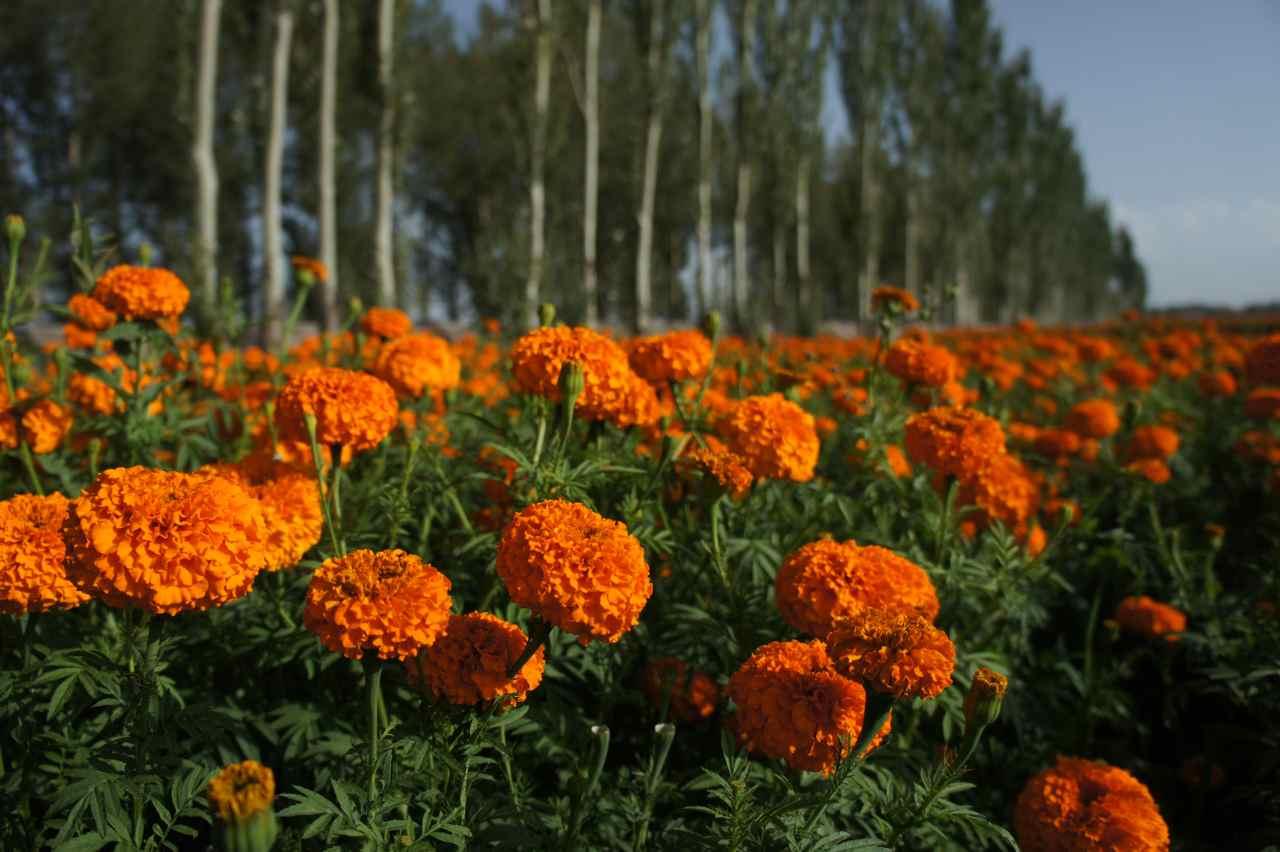 Fields of orange Tagetes