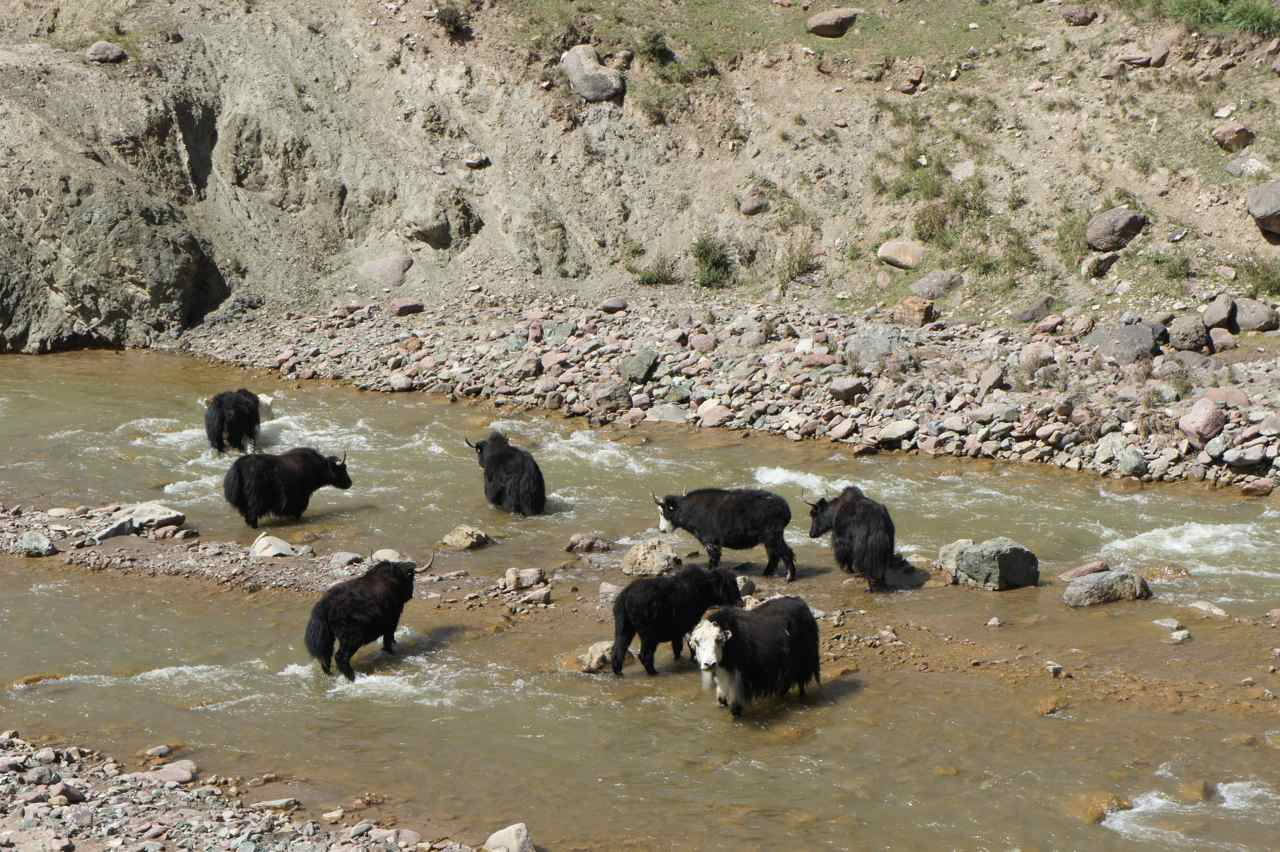 Yaks taking a cold bath...