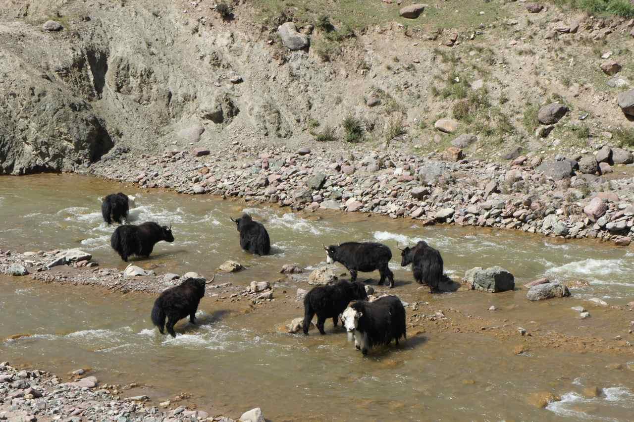 Yaks taking a cold bath...